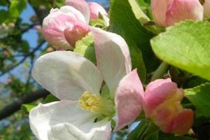 Blütenwanderung mit Bio-Vesper - Die kulinarsche Wanderung am Obsthof am Steinberg
