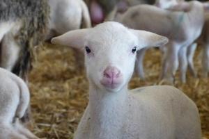 MGH Gutes aus Hessen-Spezial: Hofführung auf dem Hofgut Kapellenhof in Hammersbach - Vom Schaf über die Milch bis hin zum Käse